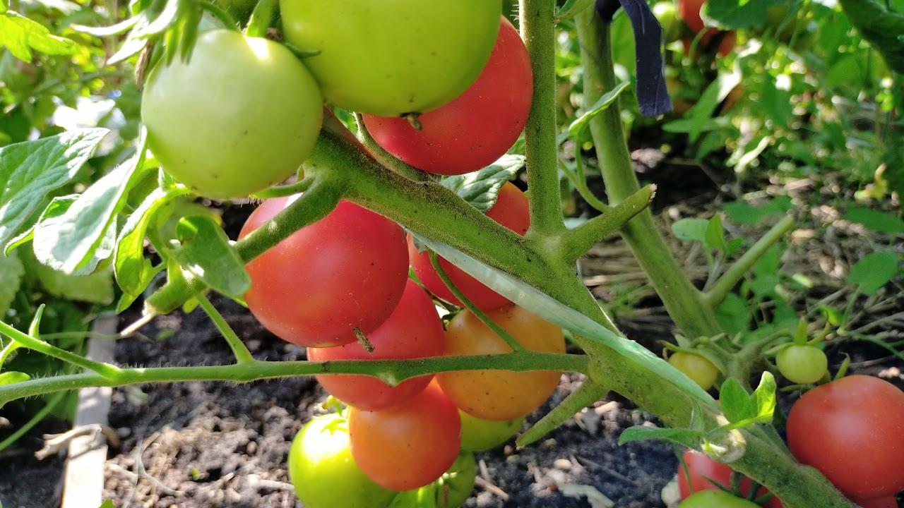 Тамина! Полный обзор томата