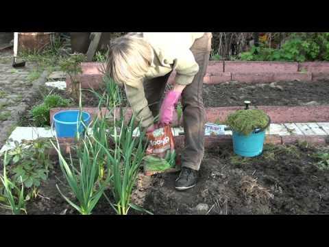 Выращивание чеснока. Чеснок: посадка осенью, подкормки
