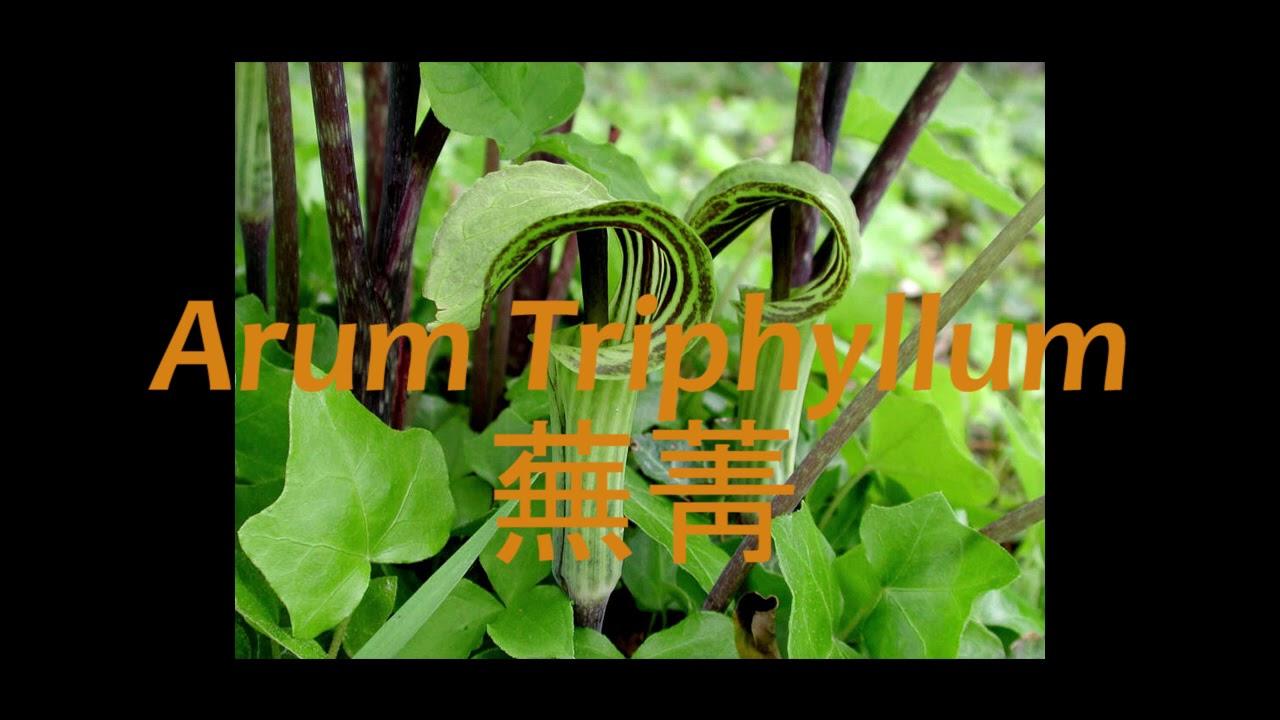《靈丹妙藥的同類療法》- EP011 - 蕪菁 Arum Triphyllum - YouTube