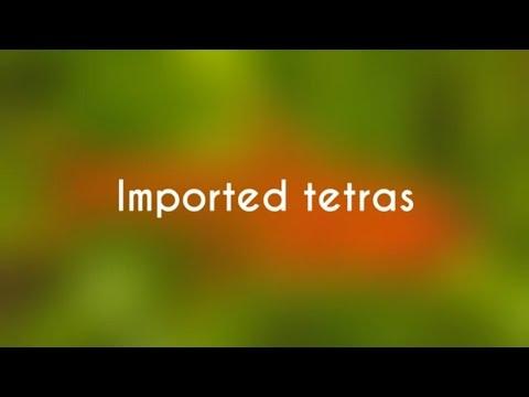 Tetra Fish Species