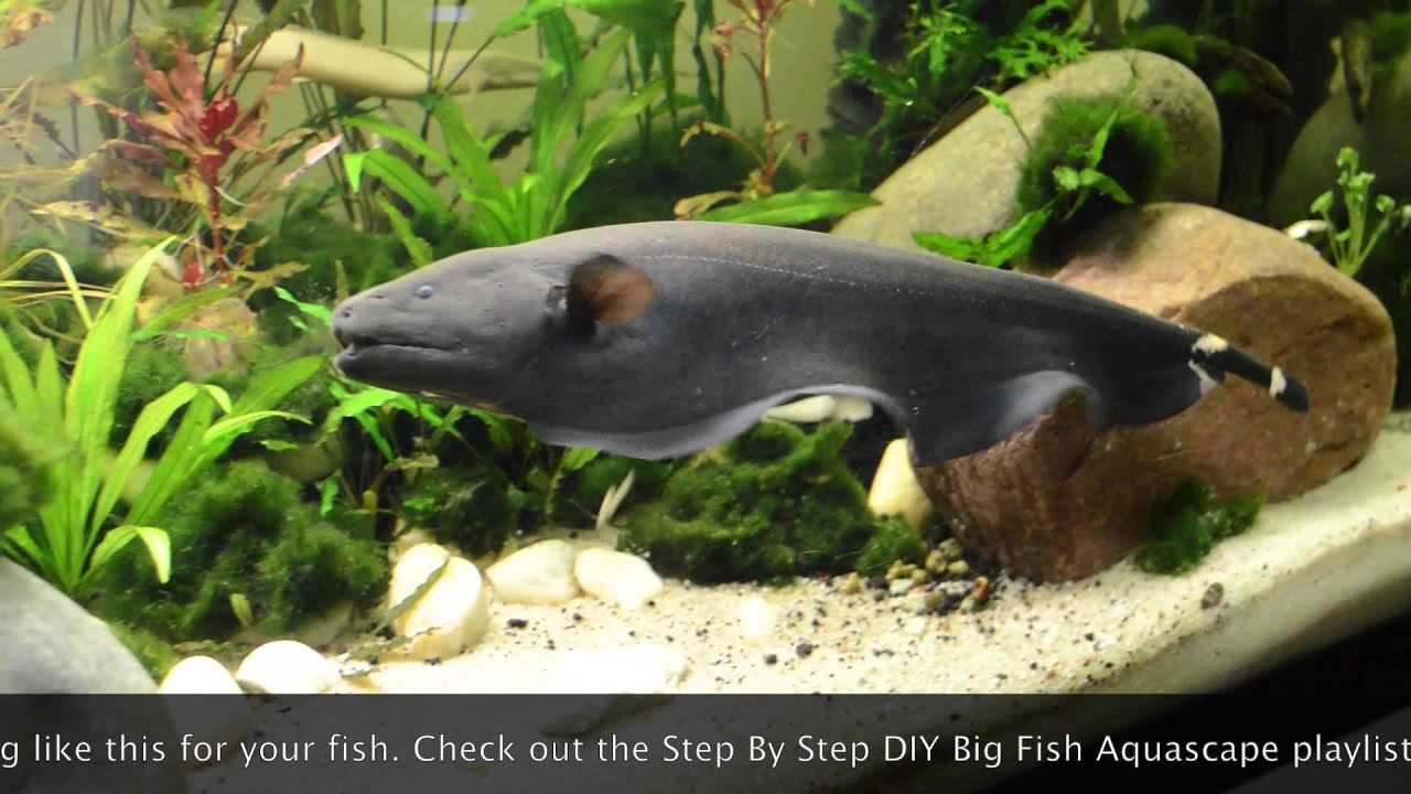 Fish Aquarium In Coimbatore - Big black ghost knife fish exploring new home lowtech tank