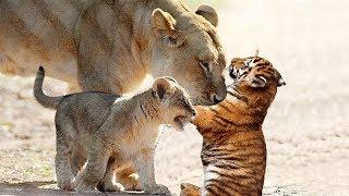 ライオンは虎の赤ちゃんを育てました、母親のタイガーが戦いに失敗した...