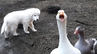 Puppy vs. Geese