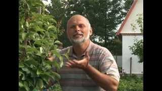 Прищипка побега(Правильная прищипка побега, не менее важна, чем полив и удобрение дерева. Именно прищипка поможет нам получ..., 2012-08-27T18:45:52.000Z)