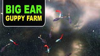 Big Ear Guppy Farm | My Farming EP#158