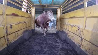 transport vache et taureau