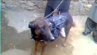Afghan Taliban Capture British Military Dog