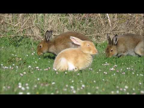 Golden Hare of Rathlin Island