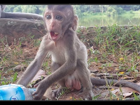 Baby monkey Charles happy so much after eating full, He happy cos never eat full like this before