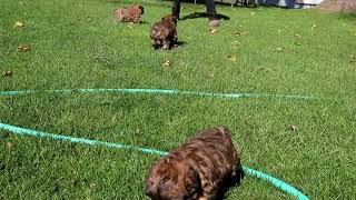 Soft Coated Wheaten Terrier Puppies For Sale John Stoltzfus