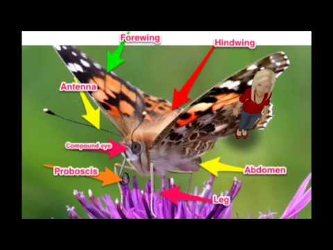 anatomy of a butterfly - YouTube