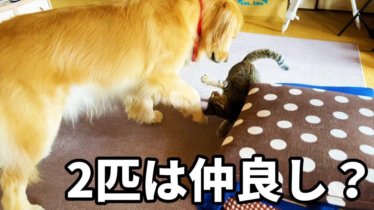 レトリバーまるくんと保護猫みーちゃんは仲良し?