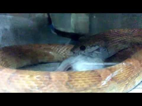 corn snake sunkissed female eat adult mouse
