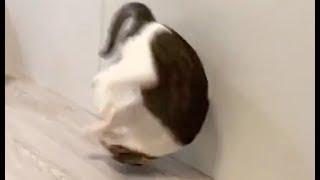 【貓日常】我家的貓會後空翻,要不要來看看? | 謝秉鈞Attila |