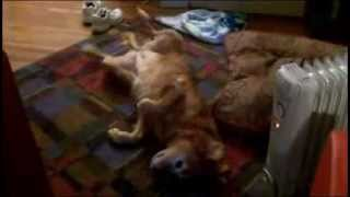Funny Dog Video Red Golden Retriever Upside Down Bicycle