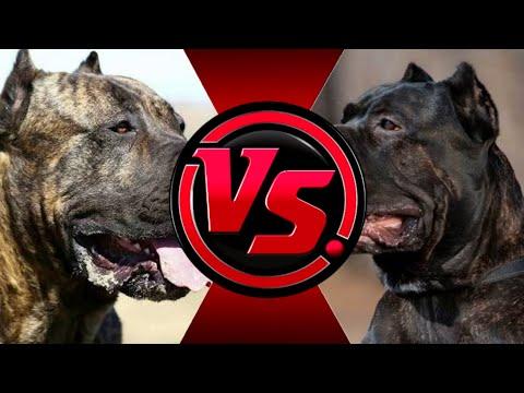 Кане-корсо против Канарского дога. КТО ЖЕ ПОБЕДИТ? | Cane-corso vs Presa Canario. Who will win?