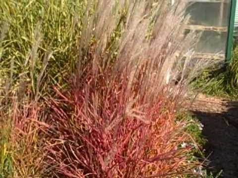 beautiful fall color miscanthus flame grass plus shout out