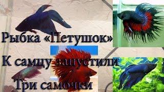 Рыбка Петушок к самцу поселили три самки