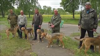 Шарьинская выставка охотничих собак Костромская обл. 2018г.
