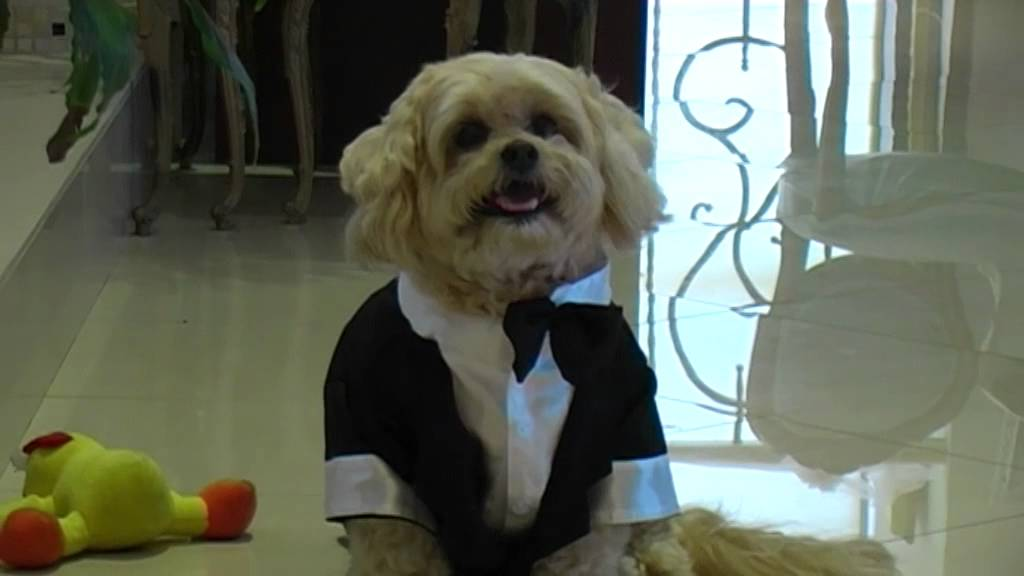 Cute Dog Dressed in Wedding Suit - YouTube