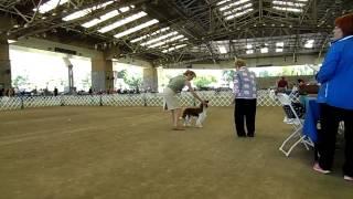Handling Venus, Welsh Springer Spaniel