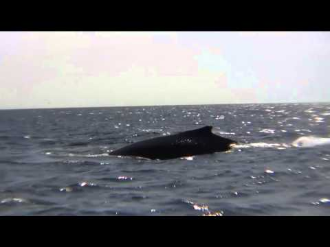 Close Encounters: Snorkeling with Whales | OQ Close Encounters with Whales P.O.V