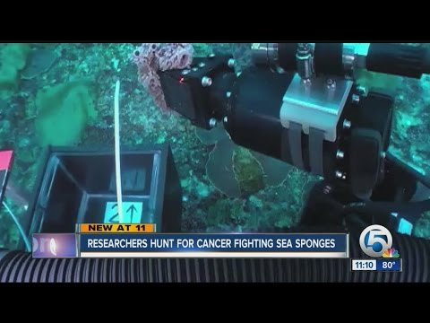 FAU Researchers hunting for cancer fighting sea sponges