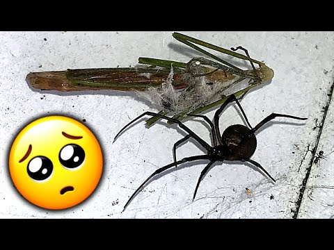 Redback Spider Roundup Trap Inspections Summer Solstice Mega Fires Educational Video