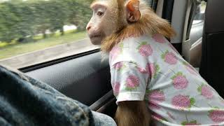 Monkey Baby Nui Happy family back home for summer vacation