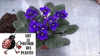 Tuto jardinage: Saintpaulia: Arrosage et entretien: plante verte d' intérieur