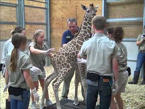One-Day-Old Giraffe's First Vet Exam - Fort Wayne Children's Zoo