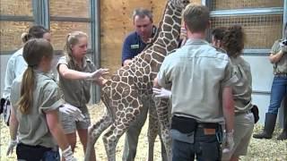 One-day-old Giraffe's First Vet Exam - Fort Wayne Children's Zoo