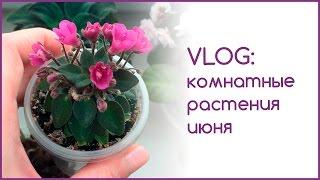 VLOG: комнатные растения июня(Привет всем! В этом влоге покажу свои цветущие фиалки и расскажу, что у меня было интересного в последнее..., 2016-07-04T17:57:17.000Z)