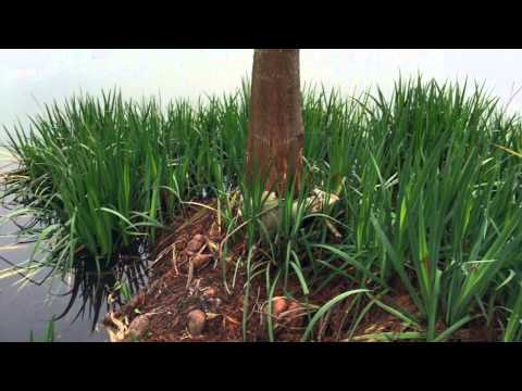 Should i plant iris or cattails in my pond youtube for What should i plant in my garden