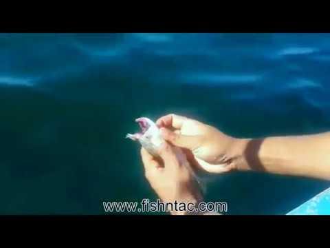 Saltwater Fishing Pakistan: How To Chum (chutt) a Scad Mackerel (bangra) for Drift Fishing (taru)