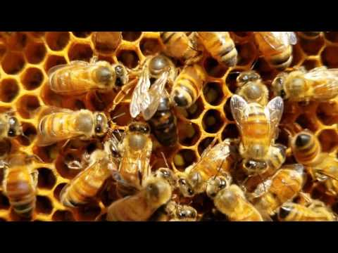 Queen Honey Bee Laying Eggs Must See