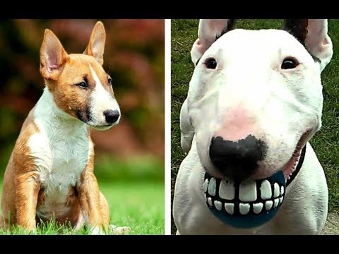 Miniature Bull Terrier vs Bull Terrier Puppies and Full Grown Dogs