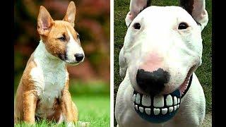 Miniature Bull Terrier vs Bull Terrier Puppies and Full Grown Dogs