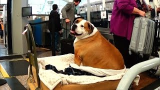 Why Dog Weighing 165 Pounds Travels in First Class