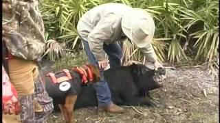 Custom Collars Cut Vest Hog Hunting