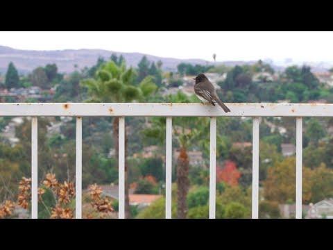 Black Phoebe Bird - Small, Plump Black Songbird With A White Belly & Afro Hairdo! [4K ASMR]