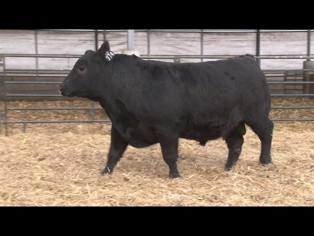 Schiefelbein Angus Farms Lot 374