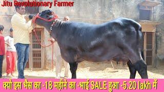 👍RAMU Sir-Top Murrah Breeder. मिलिए 15 लाख का- RAKA BULL की बेटी तैयार करने वाले किसान से.👍