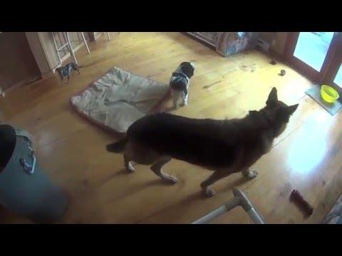 SInging Dogs