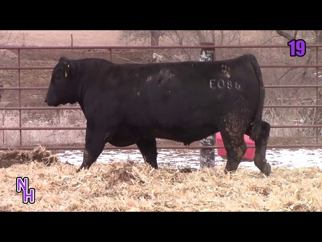 New Haven Angus Lot 19