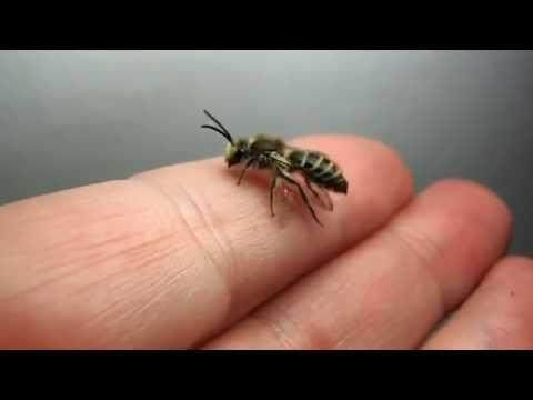 Randy Rose - Sweat Bees Living In Women's Eye
