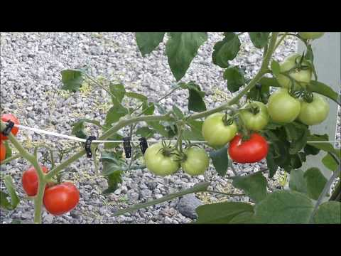 Automatic Watering of Tomatoes, Eggplants and Peppers in Containers of Growing Medium by B A  Kratky