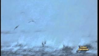 Полювання касаток на дельфінів
