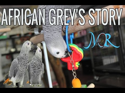 What you should know about African Grey Parrots – Ammus Pets & Kennels