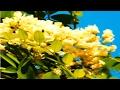*Thornless Honeylocust Flowering Tree* +White, Aromatic Flowers+
